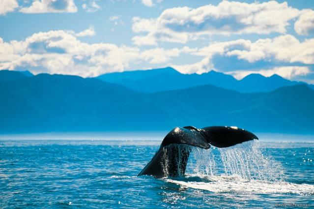 whale_tail_kaikoura