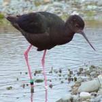 black stilt - one of the rarest wading birds in the world