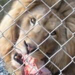 Lion at Zion Park
